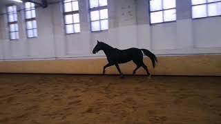 Продажа лошадей. Хлопок - мерин , 5-ть лет,163 см в холке
