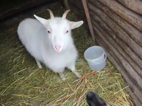 идём поить козу!