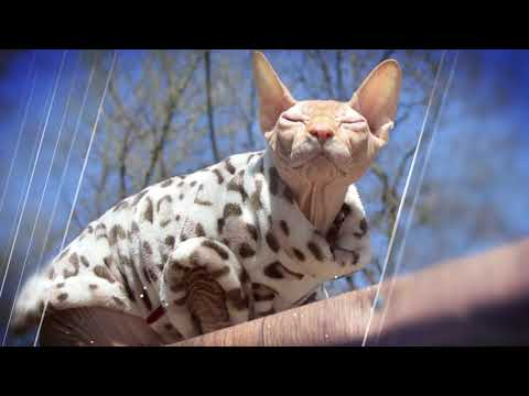 SIMPLY ELEGANT Slideshow about the favorite flowers of our funny cat Sphynx Casper