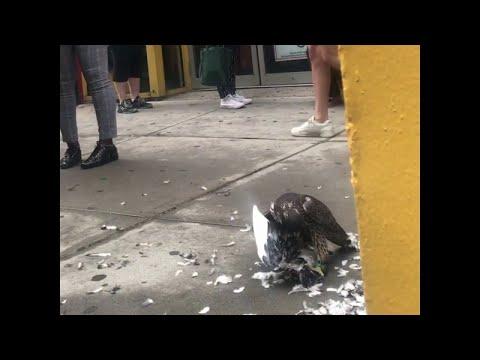 Falcon Feasts on Fellow Fowl || ViralHog