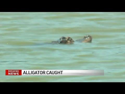 Humboldt Park Alligator Has Been Captured