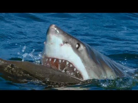 Great White Shark Attacks Robotic Seal | Spy In The Wild | BBC Earth