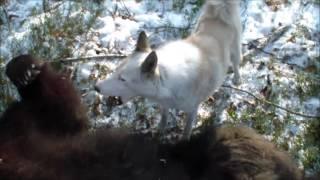 Охота на медведя в Сибири видео
