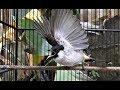 Kutilang Garuda Dan Muntahin Suara Gacornya Buktikan Segera  Mp3 - Mp4 Download