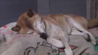【柴犬ジロー】寝んね2019の冬【柴犬ラン】