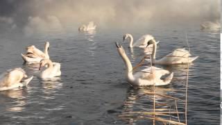 Футаж Лебеди 1