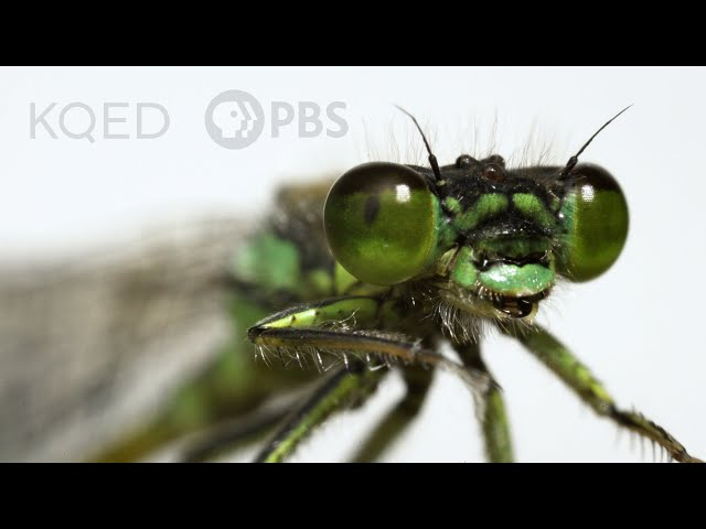 These Rare Damselflies Find Love With a Twist in Fog City   Deep Look