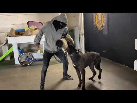 The Incredible Aston Fully trained personal protection k9 Mastiff Bull breed lovers