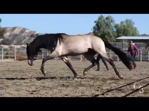 Don Divo 2012, Andalusian Stallion at Liberty - C3 Show Horses