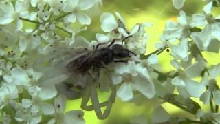 Паук замаскировавшись под цветок ловит и поедает пчелу. +Экстаежник.