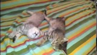 Красивые котята спят на кровати 1kittens funny game