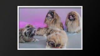 Пекинесы-щенки,продажа.