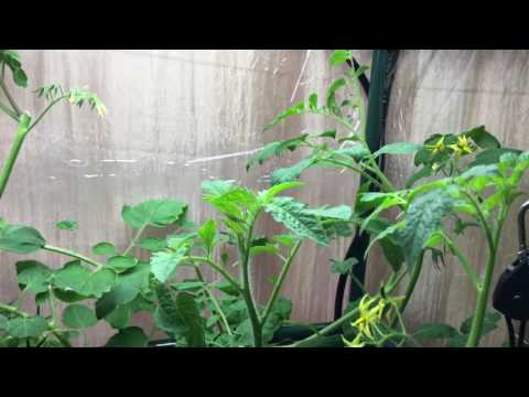 How to train tomato plants to maximize fruit development for Indoor gardening reddit