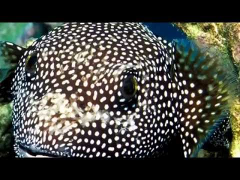 Pufferfish Facts:14 Facts About Pufferfish