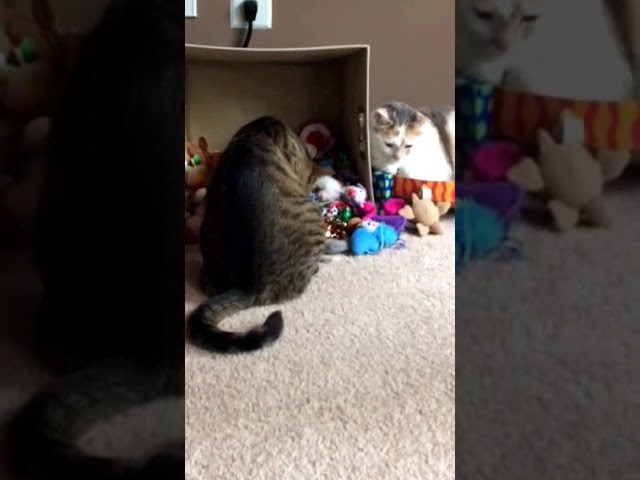 Kali-Ma the Cat boxing match