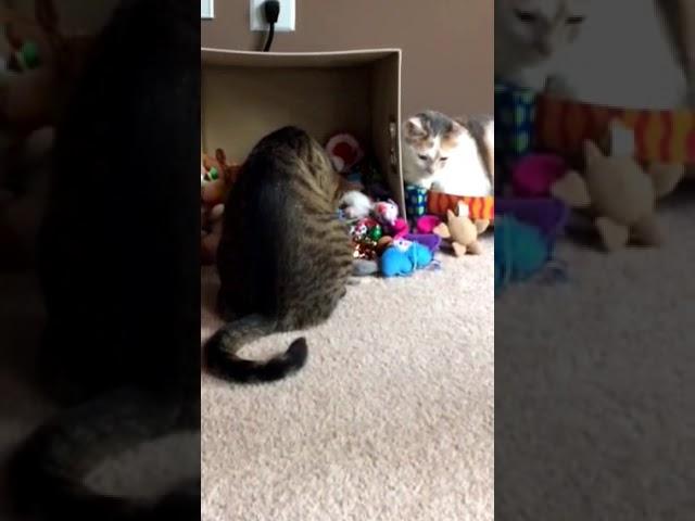 Kali-Ma the Cat boxing match
