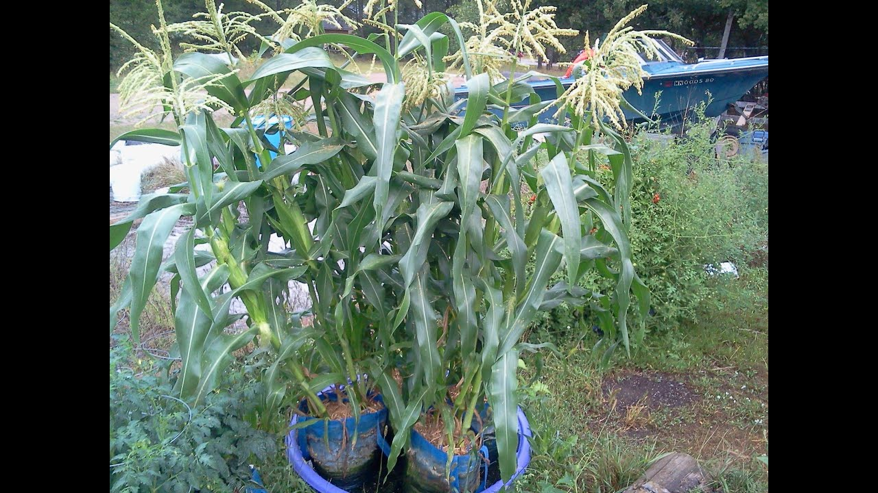 Amazing How To Raise Container Sweet Corn In Wal Mart Shopping Bags That Will Amaze  You!   YouTube