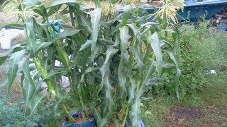 How To Raise Container Sweet Corn In Wal-mart Shopping Bags That Will Amaze You!