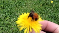 Mehiläinen/kimalainen voikukassa aivan kohmeessa 2014