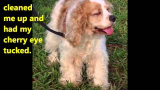 Chloe Available For Adoption Through Florida Cocker Spaniel Rescue