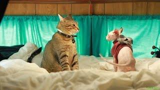 Кот Сфинкс vs Кот короткошерстный