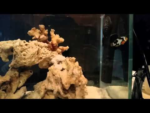 Clown fish in our 12 gallon long