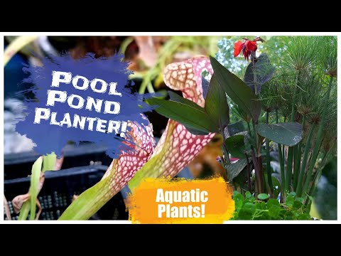 Aquatic Planters For The Pool Pond! Pitcher Plants Papyrus Canna Elephant Ears