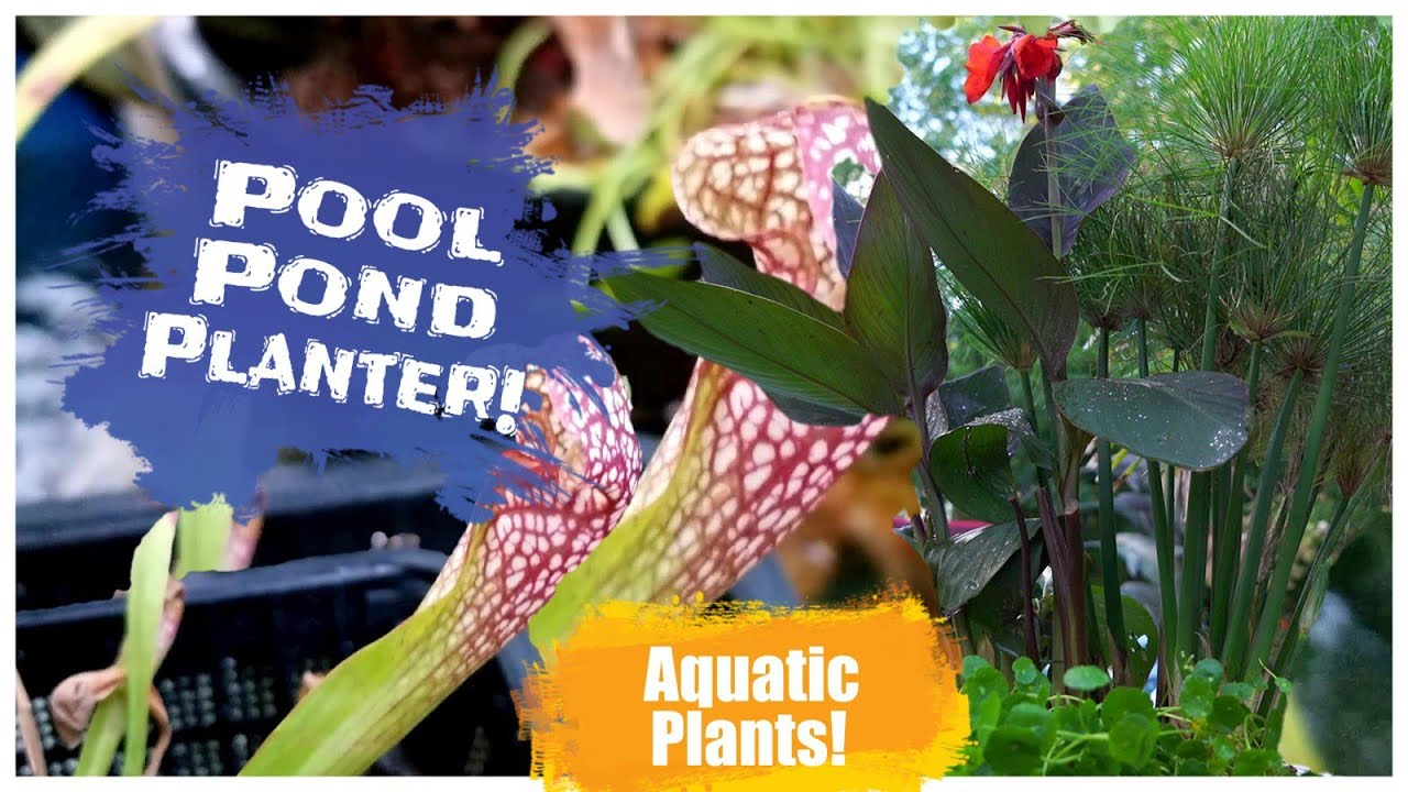 Pool Pond Pitcher Plants Papyrus Canna
