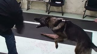 Nora - Female German Shepherd Hidden Sleeve Test (k9-1.com)
