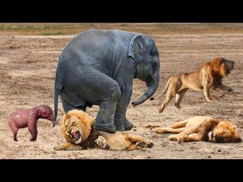 Wild Attack Lion Aligator Fighting vs Girafe Bull Buffalo Zebra Bizon Antelope Elephant Epic Nature