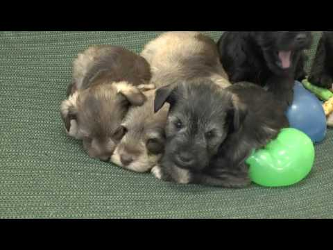 AKC Miniature Schnauzer Puppies for Sale