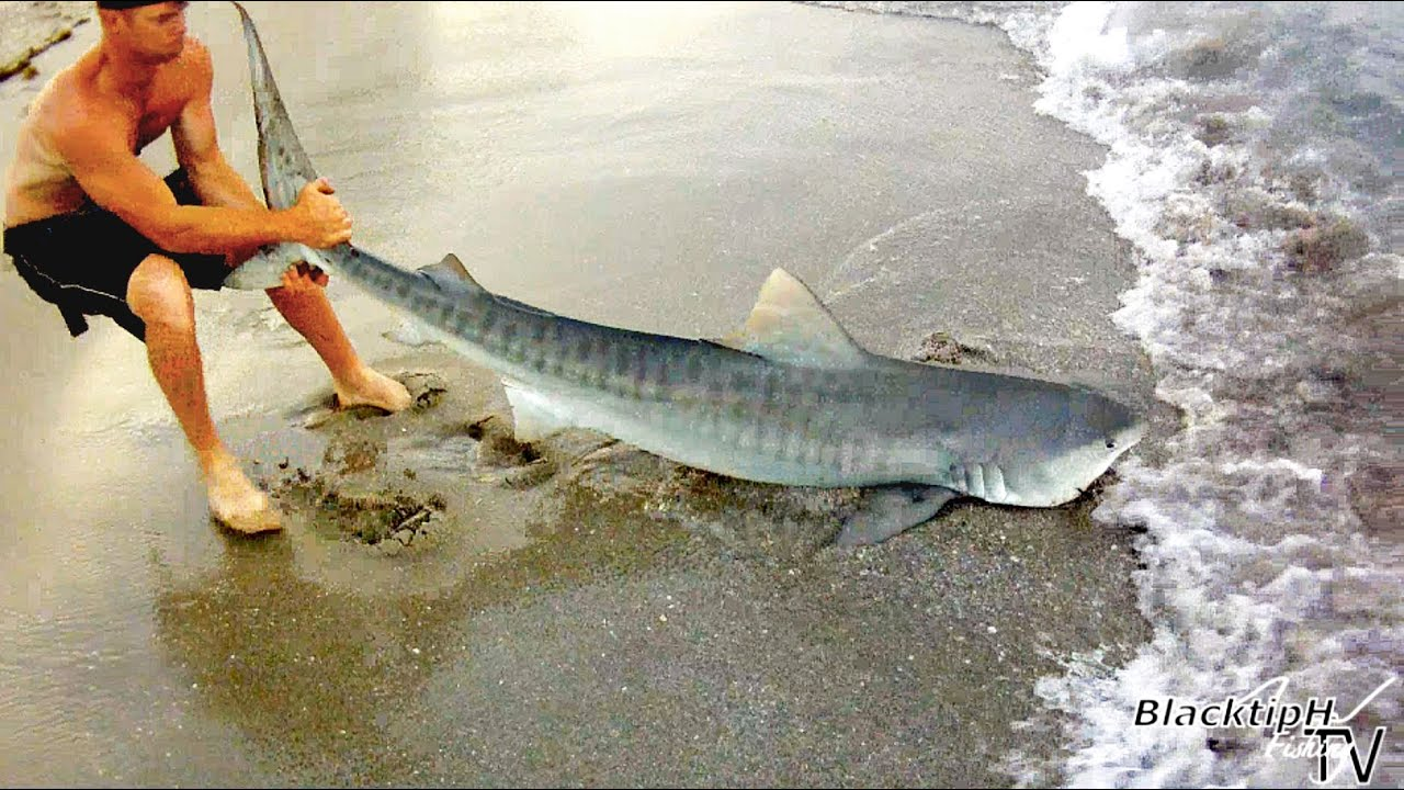 Fishing for tiger sharks youtube for Baby shark fish
