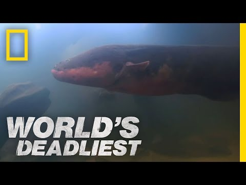 Six-Foot Electric Eel | World's Deadliest