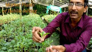 Download Video How to  Take Cuttings of Dahlia Plant with 100% Success MP3 3GP MP4