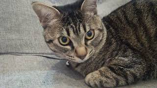 猫癒し、ちょこ thumbnail
