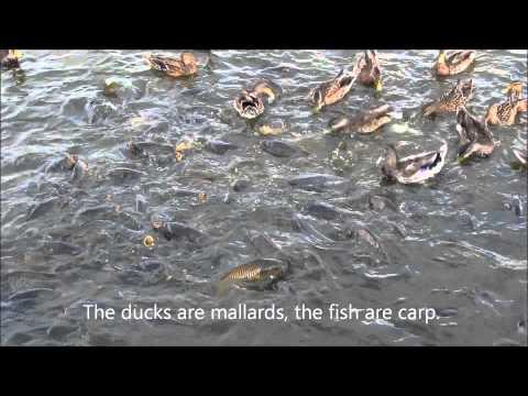 Ducks Walking On Fish At Pymatuning Spillway