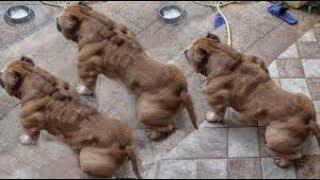 Dünyanın EN GÜÇLÜ 10 köpeği KANGAL kaçıncı sırada   2018