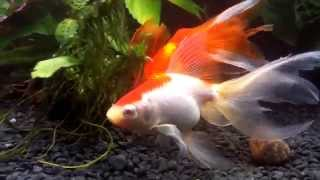 Amazing veiltail and fantail goldfish