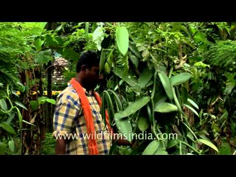 Farmer arranges vanilla vines in Kerala