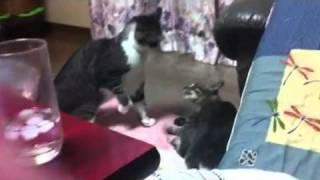 ねこ、ネコ、もふ、猫 ケンカ.
