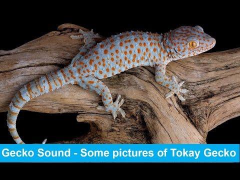 Gecko Sound | Gecko Effect | Pictures of Geckos