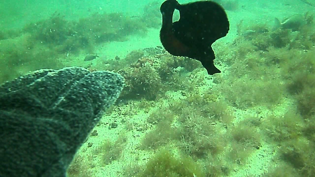 Spanish Dancer Sea Slug  YouTube