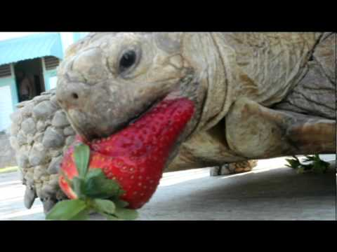 Sulcata Tortoise Pet Eating Strawberry Youtube