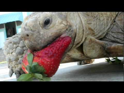 turtle eating watermelon
