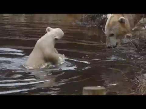 Polar Bear Cub with mum Victoria at Highland Wildlife Park