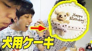 知らずに犬用ケーキ食べさせれたら気付く!?【チワワなら大歓喜】