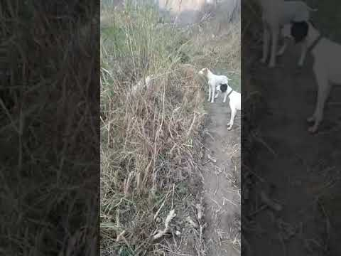english pointer in pakistan