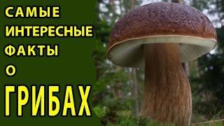 САМЫЕ ИНТЕРЕСНЫЕ ФАКТЫ О ГРИБАХ(Много ли мы знаем о грибах? Оказывается, нет, не много, а всего лишь 10% от возможного. В настоящее время ученые..., 2016-07-08T07:17:30.000Z)