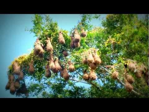 Montezuma Oropendola - Costa Rica Www.ticotrotter.com