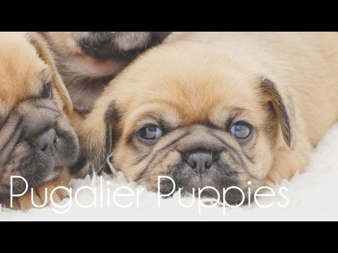 Pugaliers Puppies very sleepy